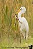 Egret eating frog ! Viera Wetlands