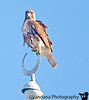 December 17, 2011 - Red tailed hawk on a islamic center at Tampa<br /> <br /> Reached Tampa safely, 75F , warm and sunny ! Caribbean cruise starts sunday afternoon !