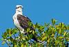 December 29, 2011 - Spotted an Osprey on Florida Bay boat tour, at Everglades National Park Visitor Center, Flamingo, FL