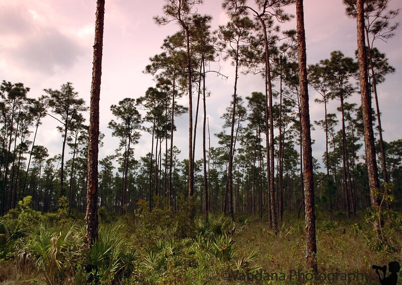 Slash pines, Everglades
