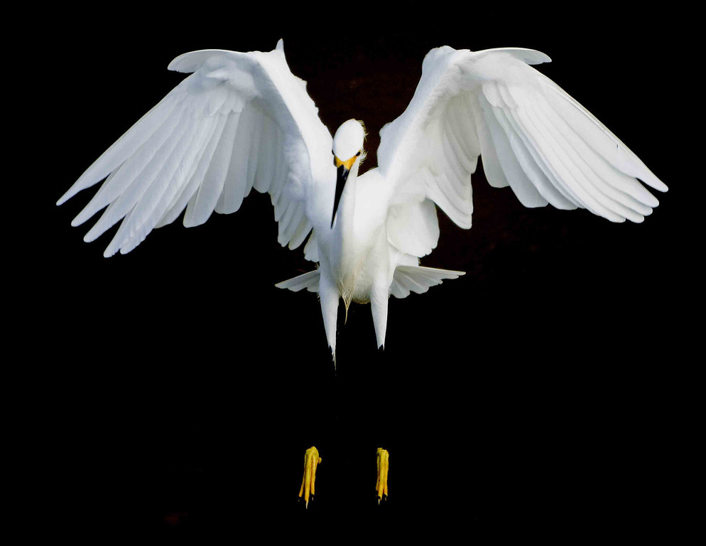 Snowy egret landing at Sanibel Island.