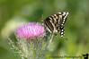 butterfly on bullthistle