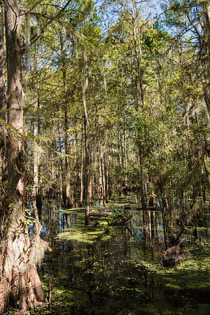 Cedar swamp in Florida
