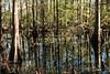 Cedar Swamp in Florida