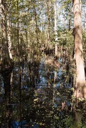 Florida Cedar Swamp