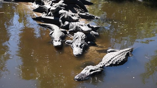 Motionless American Alligators
