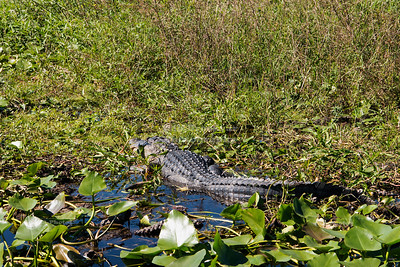 American Alligator in Florida