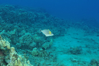 "© Joseph Dougherty. All rights reserved.  Sufflamen bursa  (Bloch & J. G. Schneider, 1801) Scythe Triggerfish aka Lei Triggerfish, Whiteline Triggerfish, Boomerang Triggerfish  Sufflamen bursa is a Triggerfish from the Indo-Pacific. It occasionally makes its way into the aquarium trade. It grows to a size of 25 cm in length. ""Scythe"" markings on the lei triggerfish contain pigments which may change hue from light yellow to dark brown depending on mood of the fish."