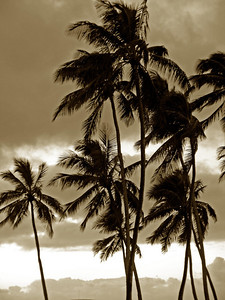 Palm trees sway in the breeze