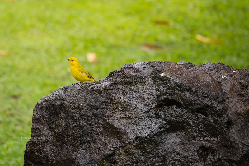 Saffron Finch on a lava rock