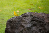 Saffron Finch on a lava rock