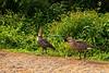 Nene, Hawaiian Geese