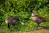 Haiwaiian Geese