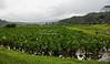Taro fields near Hanalei, Kauai