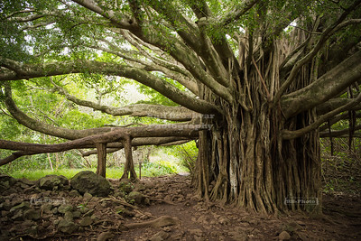 Massive Banyan Tree in Maui