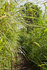 Wild sugar cane along the Pipiwai Trail