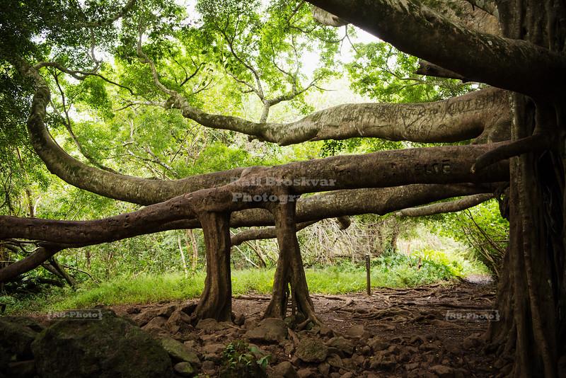 Amazing tree in Haleakala National Park