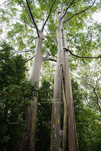 Rainbow Eucalyptus in Hawaii