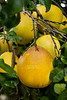 Lemon fruits on a tree