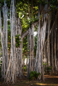 Banyan trees in downtown Honolulu