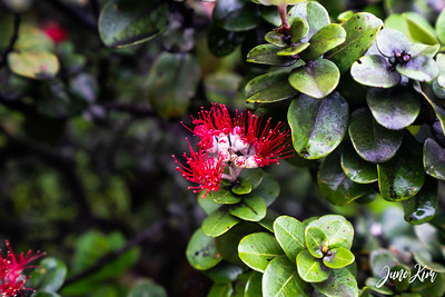 'ōhi'a tree blooming with orange lehua
