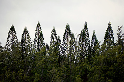 Coastal Pines, Kauai, HI