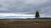 Solitary tree in Idaho