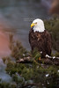 Bald Eagle at Starved Rock State Park