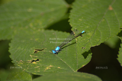 Blue Damselfly at Starved Rock State Park, Utica, Illinois