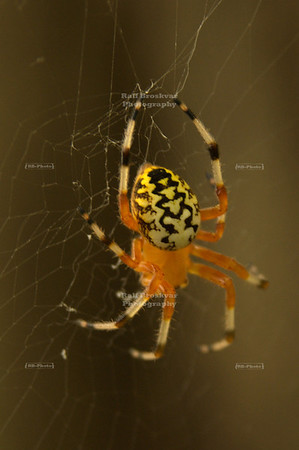 Marbled Orb Weaver (Araneus marmoreus) in Starved Rock State Park, Utica, Illinois