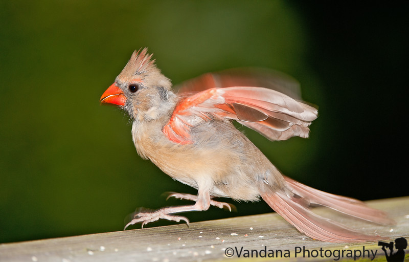 August 28, 2010 - Take-off cardinal