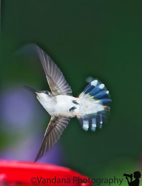August 25, 2010 - Hummingbird acrobatics !