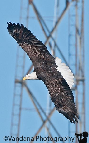 February 16, 2010 - The urban eagle !