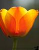 April 15, 2010 - Tulip mania