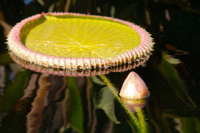 Giant leaf of a water lily