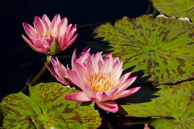 Water lilies in Chicago Botanic Garden