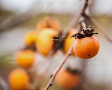 Wild persimmon in Southern Illinois