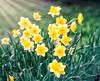 April 2, 2020 - Daffodil art