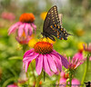 June 27, 2018 - butterfly at Cumberland Park