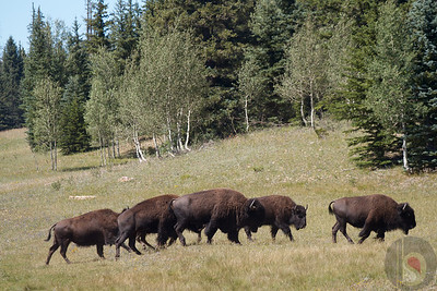 Kaibab National Forest - Bisons