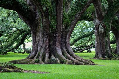 300-year Old Oak Tree