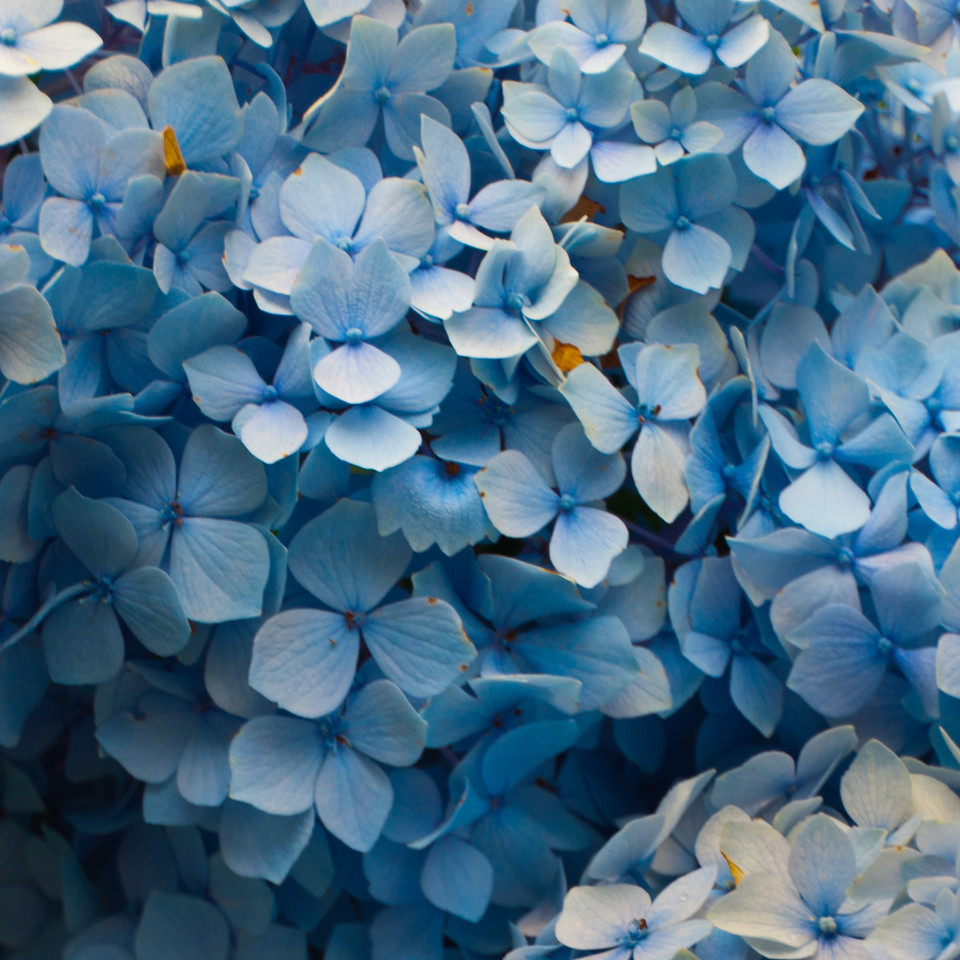 Martha's Vineyard in Full Bloom - Hydrangeas everywhere