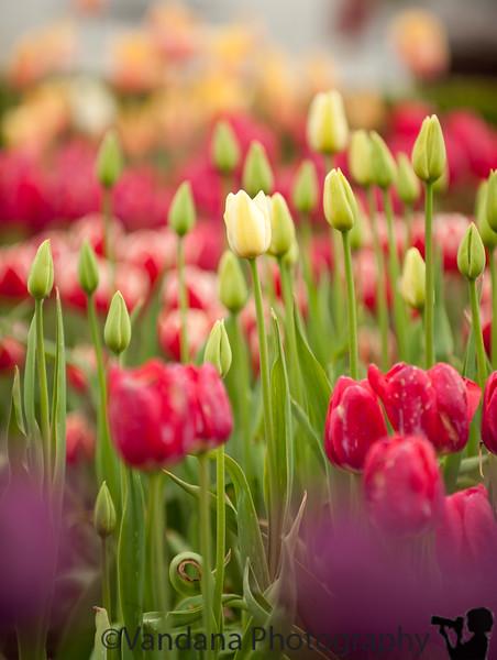 Tulips at Tulip Festival, Holland, MI