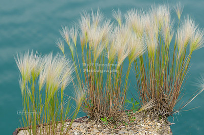 Wild Grass in Buffington Harbor