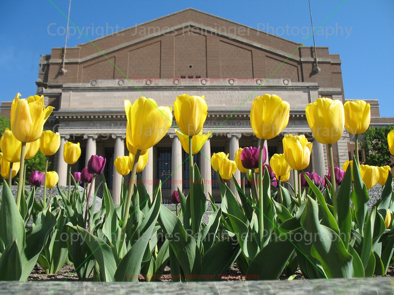 Tulips on Northrup Mall