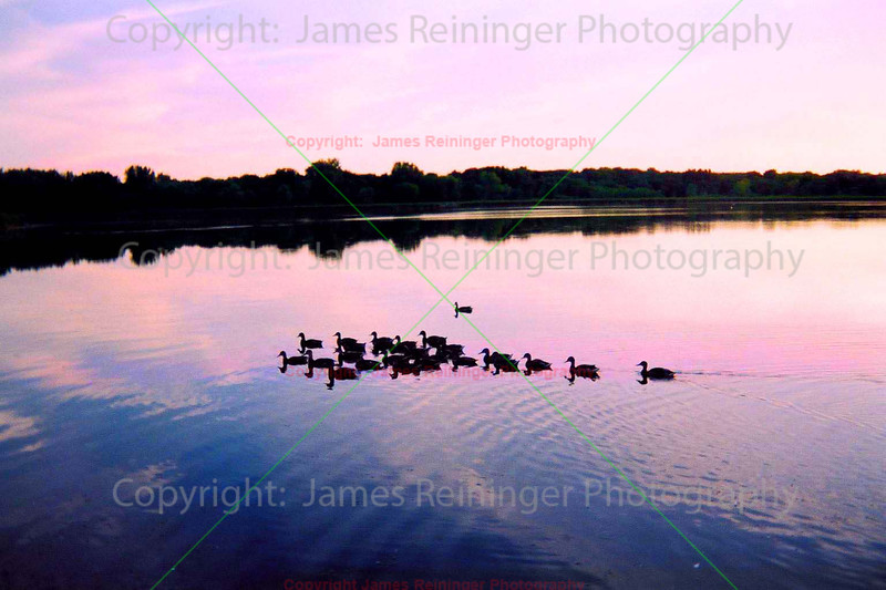 Ducks at Dusk