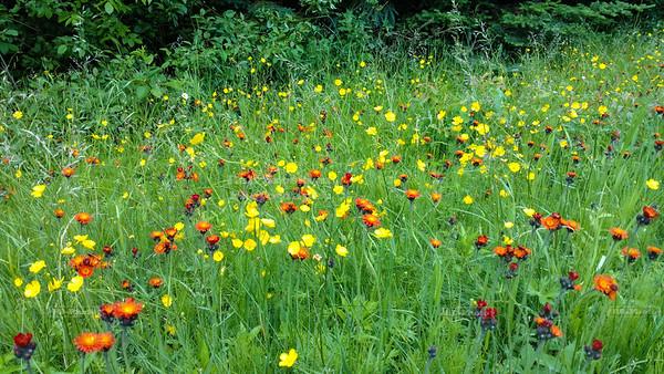 Blooming Meadows on Britton Peak