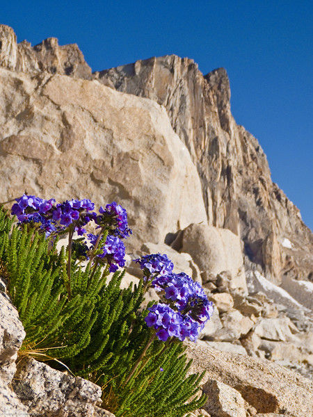 Alpine flowers and Mt. Whitney on the background