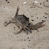 Hatteras, NC-crab @ Pamlico Sound-06012010-113200(f)