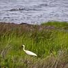 White Ibis, OBX, NC-06032010-093530(f)